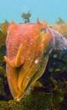 http://commons.wikimedia.org/wiki/File:GiantCuttlefish6.jpg