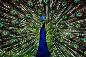 https://commons.wikimedia.org/wiki/File:Peacock_feathers_close.jpg