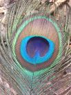 https://commons.wikimedia.org/wiki/File:Peacock_Feather_Close_Up.JPG