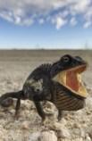 http://commons.wikimedia.org/wiki/File:Chamaeleo_namaquensis_(Namib-Naukluft,_2011).jpg