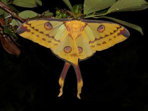 https://commons.wikimedia.org/wiki/File:Comet_moth_(Argema_mittrei),_Vohimana_reserve,_Madagascar_(11455598076).jpg