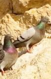 http://en.wikipedia.org/wiki/File:Rock_pigeons_on_cliffs.jpg