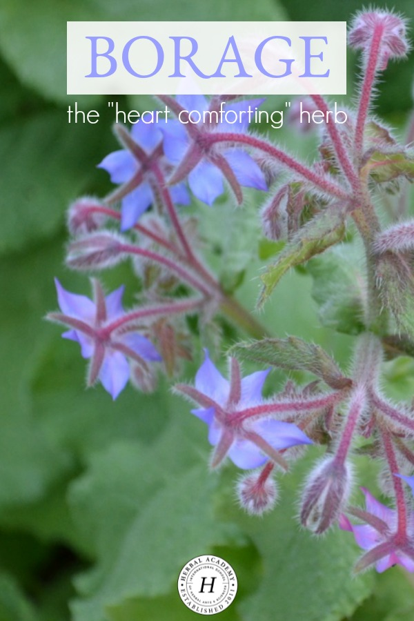 "Borage - The ""Heart Comforting"" Herb 