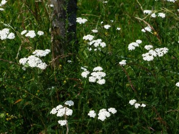 common-yarrow-167528_640