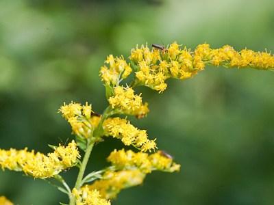 Goldenrod for allergy season