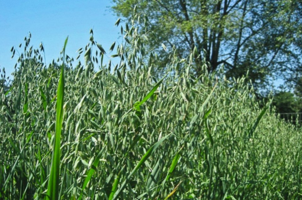 oats benefits getting to know avena sativa herbal academy