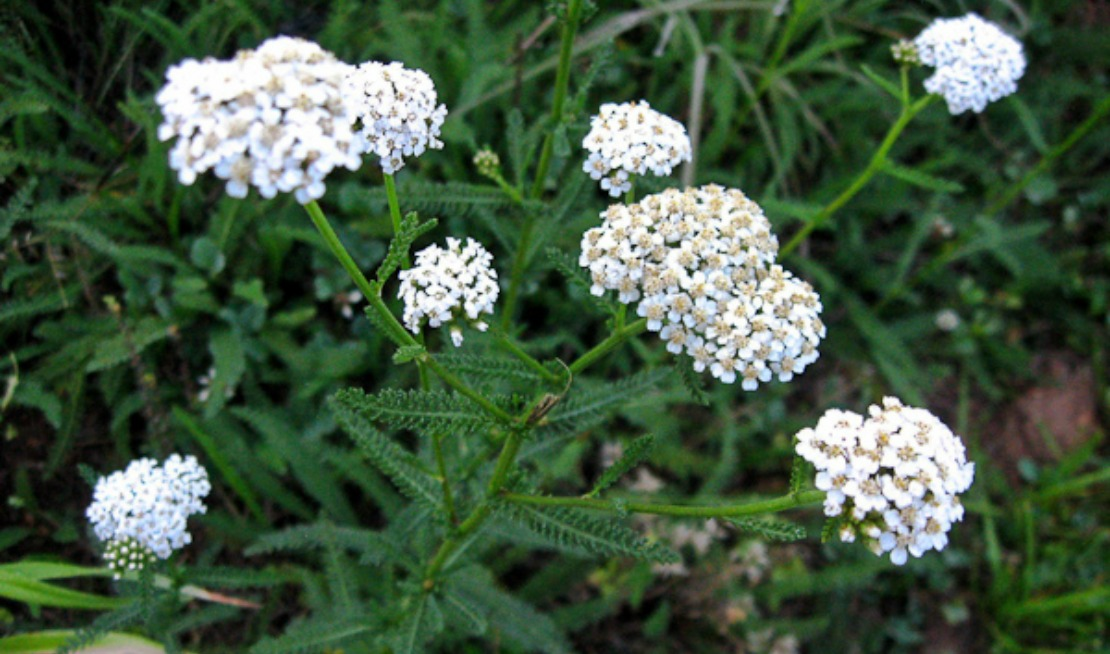 Image result for yarrow herb Pinterest