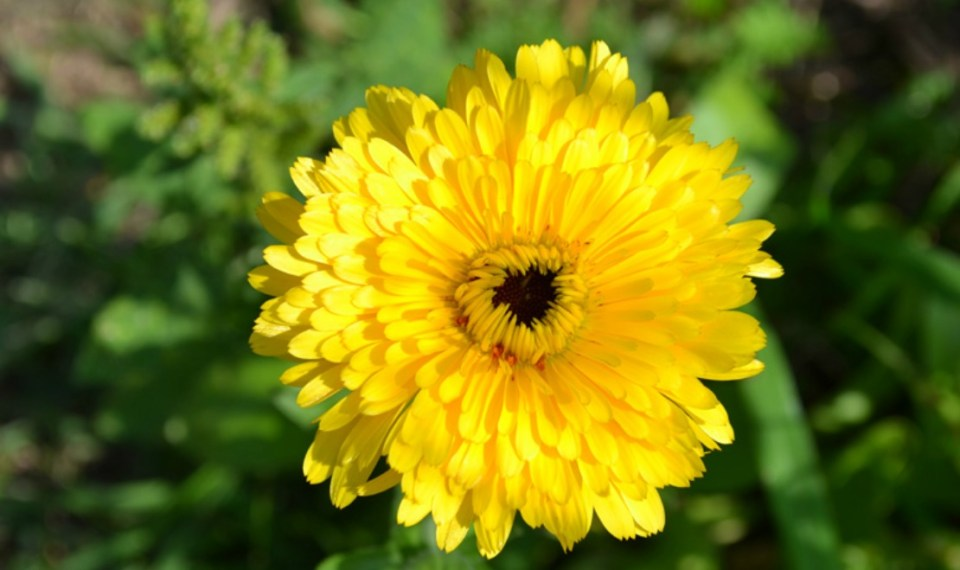 Calendula-Elixer-for-Cold-and-Flu-Season-Herbal-Academy-of-New-England