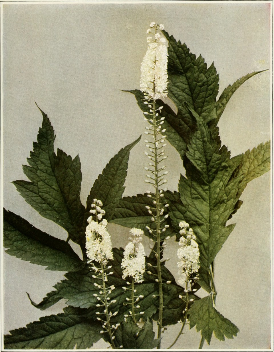 Black_Cohosh-public-domain