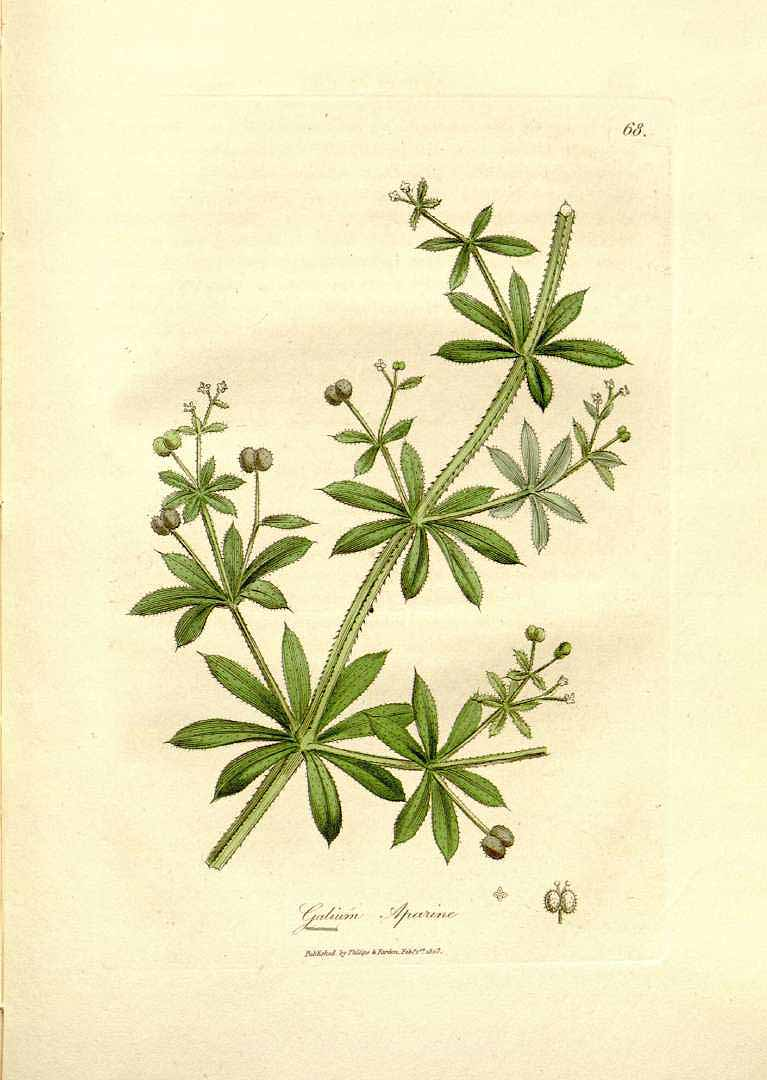 3 Ways to Use Cleavers for Spring Cleansing | The Herbal Academy
