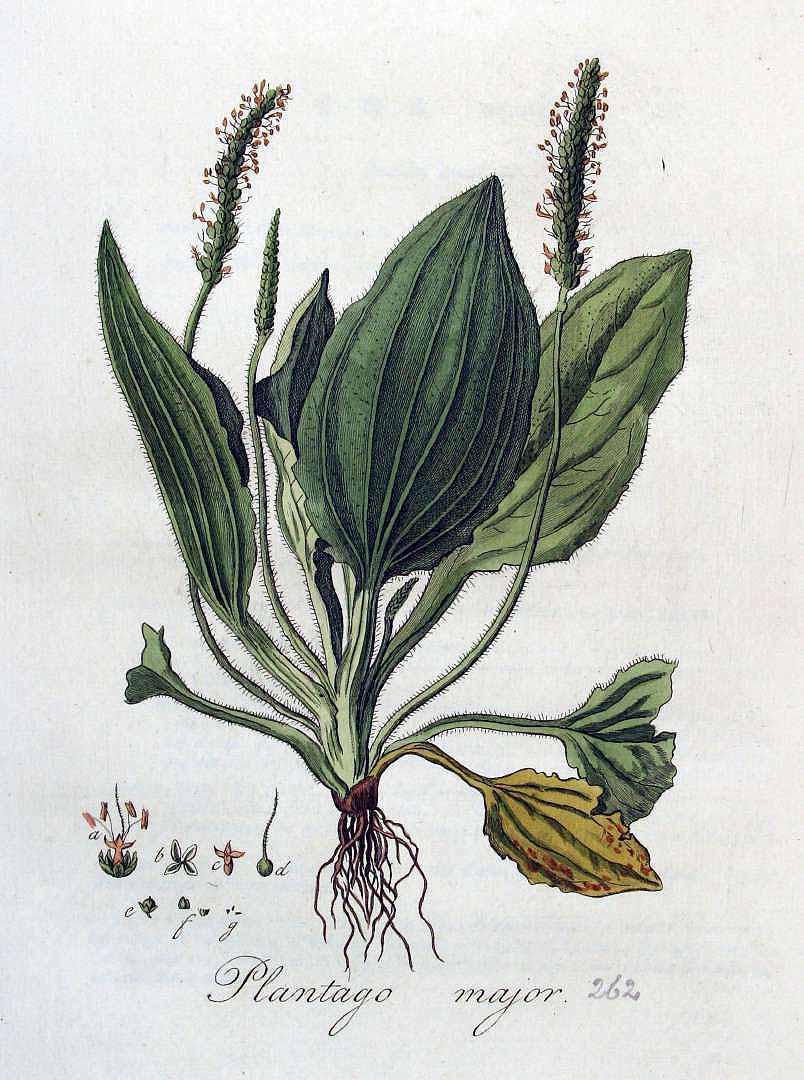 Learning Plant Language - Plantago