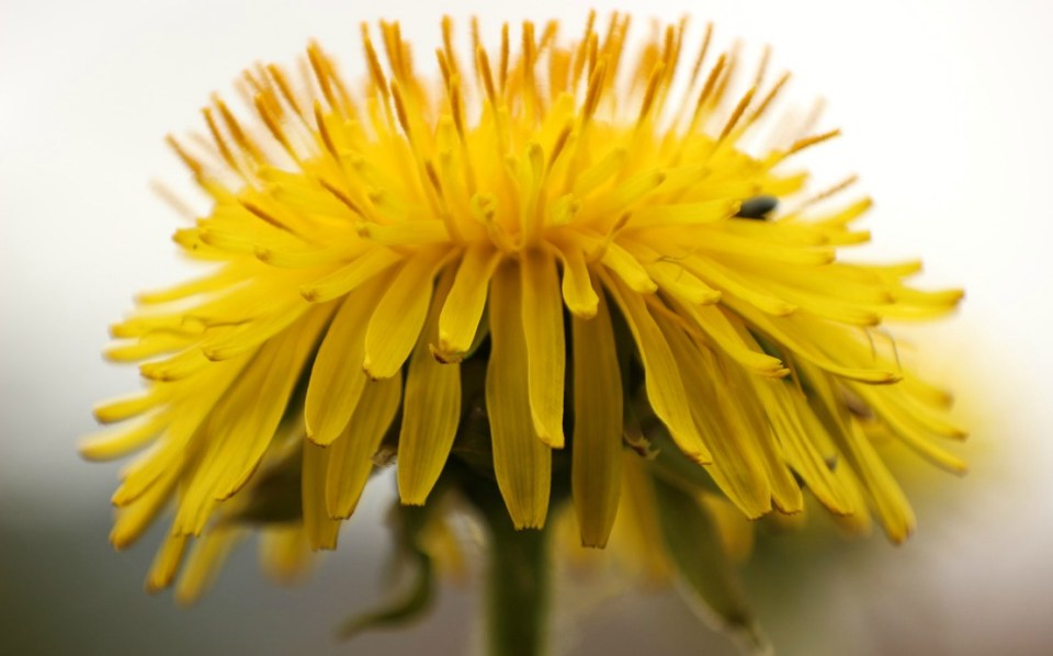 A Family Herb: Dandelion   Herbal Academy  The humble dandelion is a surprisingly beneficial plant for every member of the family. Learn how to use this plant for good health!