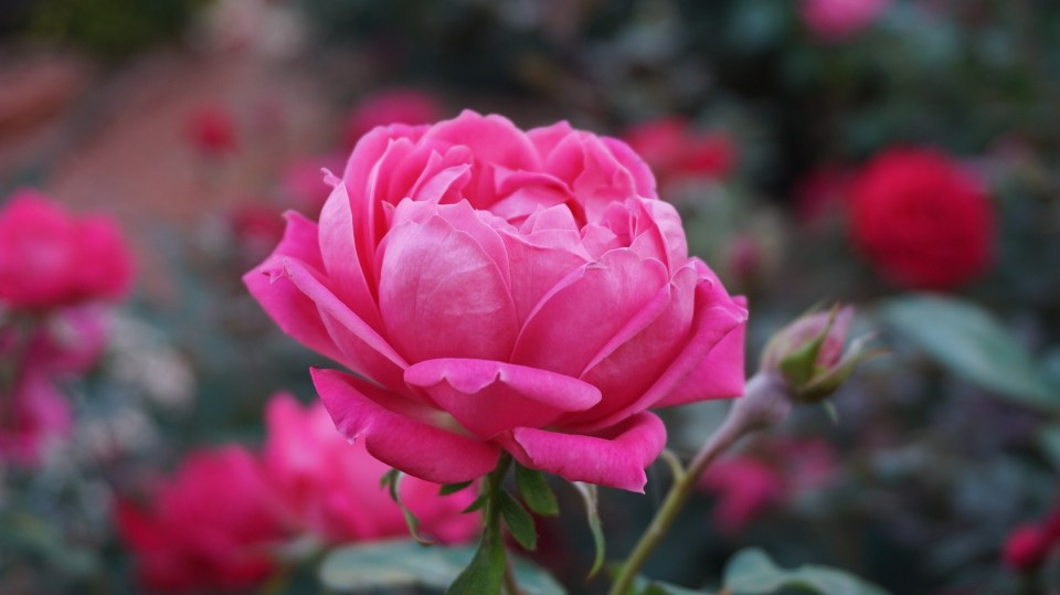 34 Ways To Use Roses   Herbal Academy   If you're planning to harvest rose this season, you may be wondering how to put your bounty to good use. If so, we've gathered 34 DIY rose recipes to help you make the most of your rose harvest!