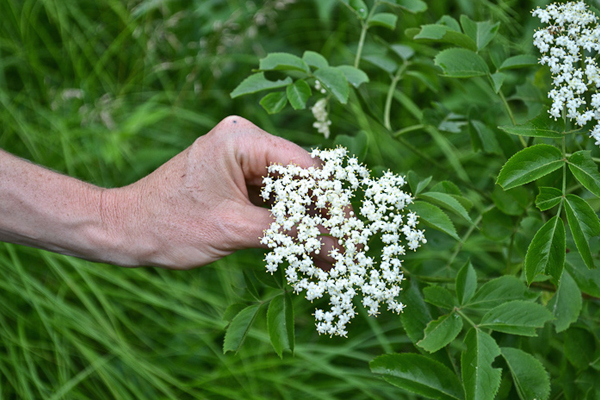 Online Introductory Herbal Course - Foraging and Materia Medica