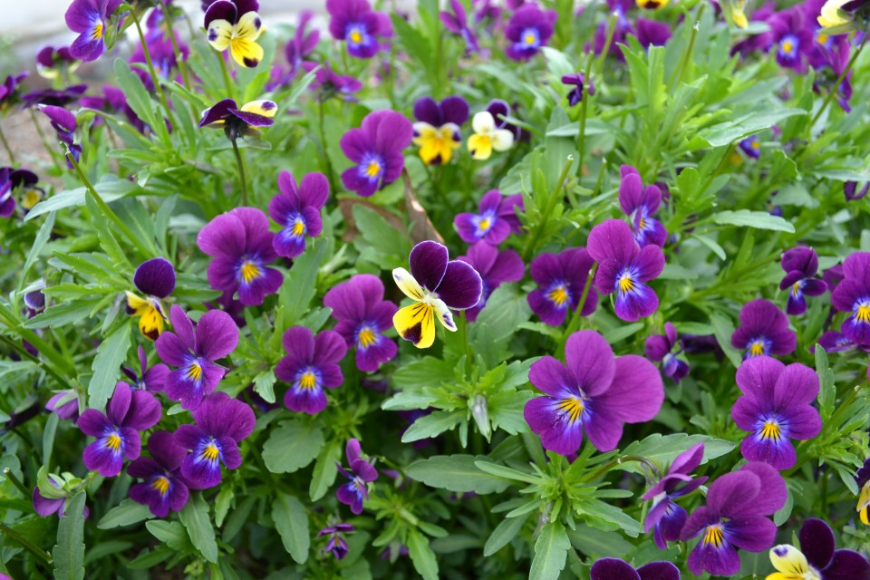 Backyard Plants: Creating a Local Materia Medica | Herbal Academy |Learn to study the valuable plants in your own backyard! Start by creating a local materia medica with violet.