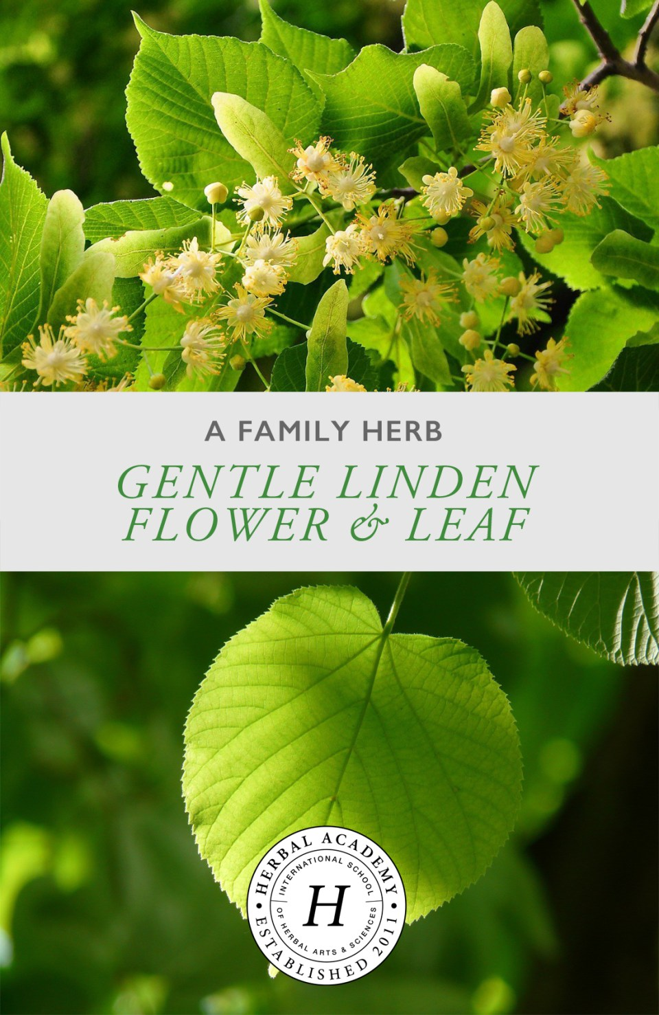 A Family Herb: Gentle Linden Flower and Leaf | Herbal Academy | Gentle linden flower and leaf provides a cooling calm for every member of the family. Learn about the many benefits of this is beloved herb!