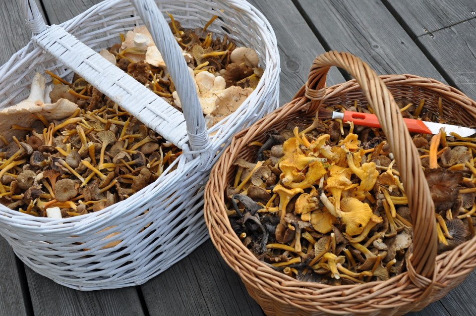 How To Make A Medicinal Mushroom Double-Extraction Tincture   Herbal Academy   Medicinal mushroom has a long history in traditional medicine. Learn how to make your own medicinal mushroom double-extraction tincture.