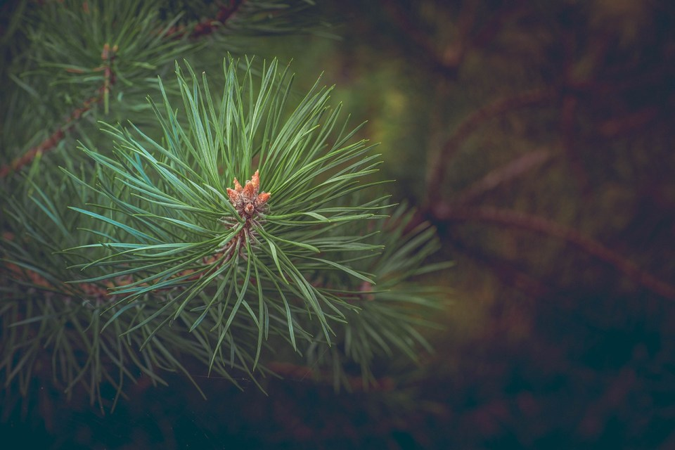 8 Ways To Use Pine Needles | Herbal Academy | Pine needles can be used for a variety of ailments, as food, for making crafts, and even in the garden. Let us teach you 8 ways to use pine needles.