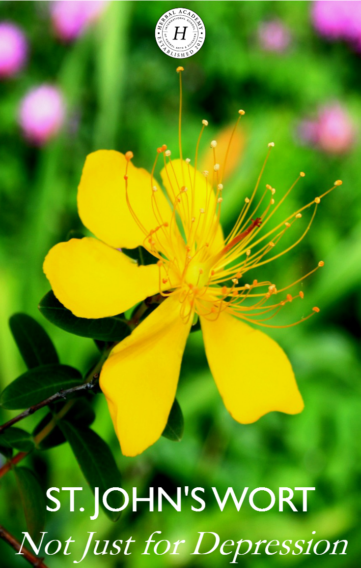 St. John's Wort: Not Just For Depression | Herbal Academy | St. John's Wort is not just an herb for depression. From soothing topical uses to supporting the immune system, you'll learn to appreciate the many uses of this herb!