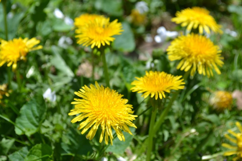 All About Dandelion (For Your Materia Medica)   Herbal Academy   Come and learn all about dandelion and its many uses for your materia medica!