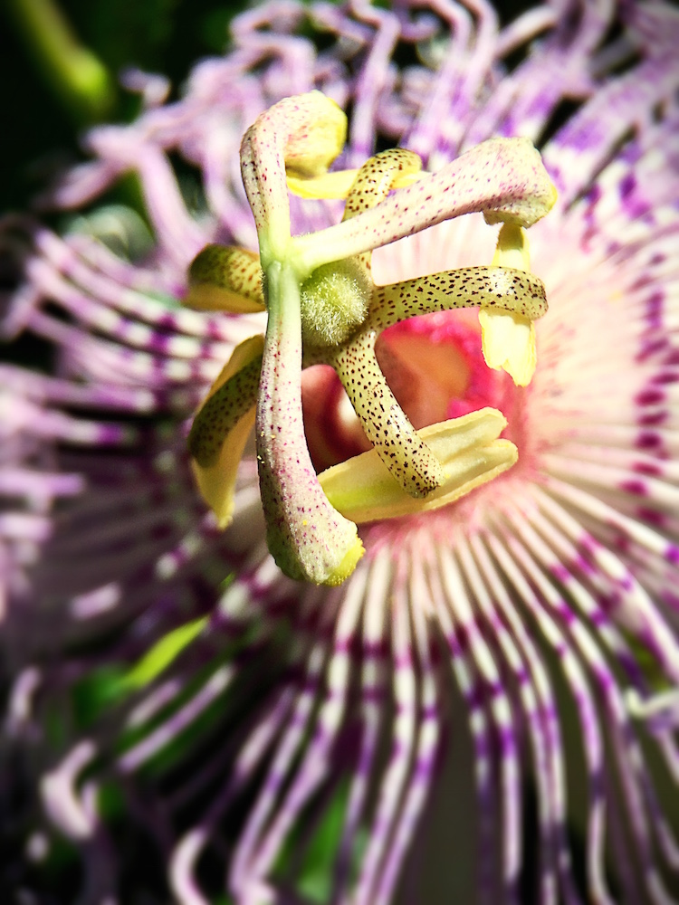 7 Things You May Not Know About Passionflower | Herbal Academy | Do you know passionflower has a calming and soothing effect on the nervous system? Here are 7 other things you may not know about this herb!