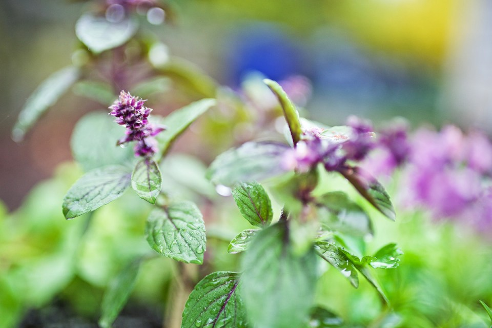 6 Basil Varieties & What You Should Know About Them | Herbal Academy | Did you know there are many basil varieties that can be planted and used in various ways? Come learn about six of them and how to incorporate them into your life.