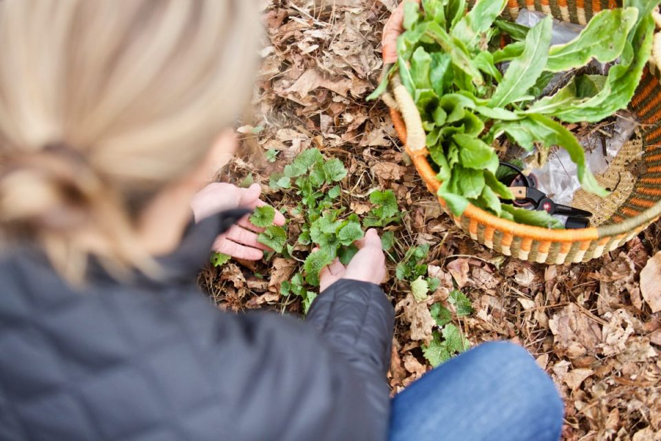 How To Identify And Wildcraft Plants Outside Your Front Door | Herbal Academy | Are you ready to learn how to identify & wildcraft plants this year? If so, grow your confidence and skill with our Botany & Wildcrafting Course!