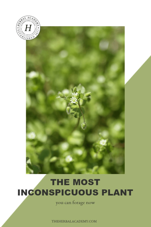 The Most Inconspicuous Plant You Can Forage Now! | Herbal Academy | Learn how to forage chickweed in today's article! Also, strengthen your plant identification skills of 25 herbs with our Botany & Wildcrafting Course.