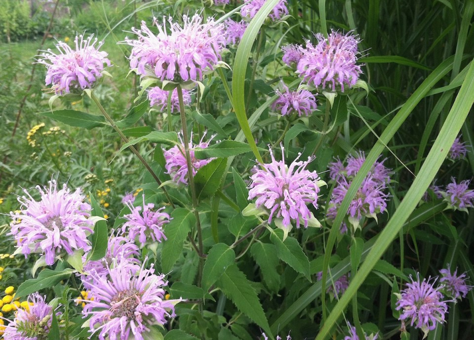 Monarda is the other featured ingredient in our ice pops recipe