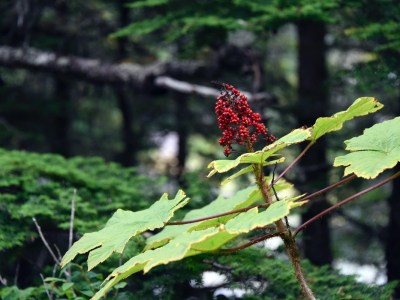 Adding Devil's Club to your Materia Medica | Herbal Academy | Devil's club is a useful plant to have in one's materia medica. In this post, we'll explore and deepen our knowledge and understanding of this herbal ally.