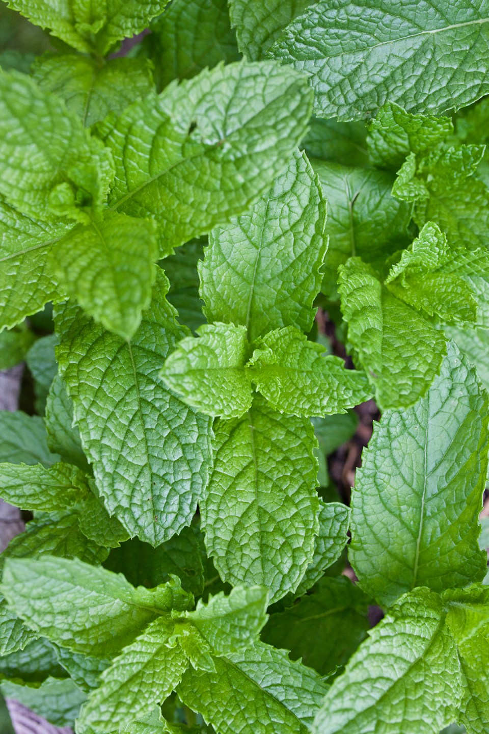 4 Tips to Control Mint in the Garden | Herbal Academy | If you've ever wondered how to control mint in your herb garden, this post is for you. Here are 4 tips to help you keep your mint plants under control!