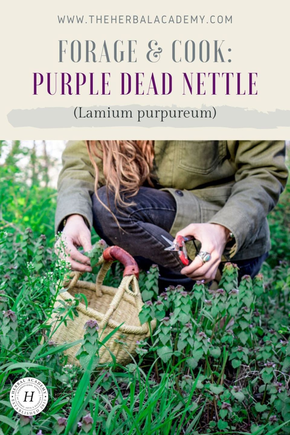 Purple Dead Nettle: Nutrition and Recipes | Herbal Academy | If you enjoy foraging, then purple dead nettle (Lamium purpureum) is a wonderful plant to become acquainted with through these two simple recipes.