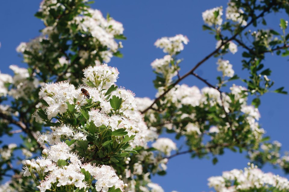 A photo of a hawthorn tree's flowers