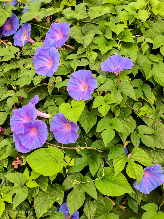 Beautiful purple flowers in a field of green leaves; A day at Frog Hollow Farm, tree ripened fruits © 2017 Jane Bonacci, The Heritage Cook
