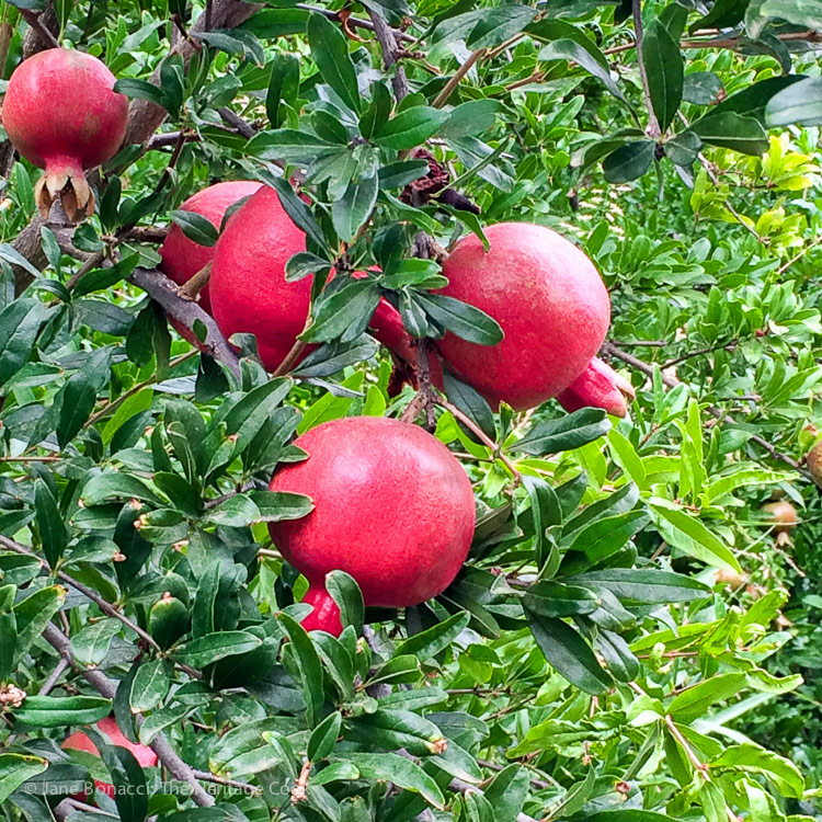 beautiful pomegranates; A day at Frog Hollow Farm, tree ripened fruits © 2017 Jane Bonacci, The Heritage Cook