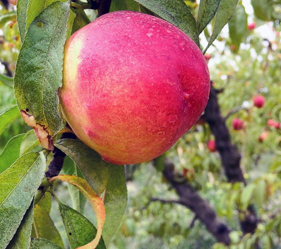 A Day at Frog Hollow Farm, Summer in the Orchards