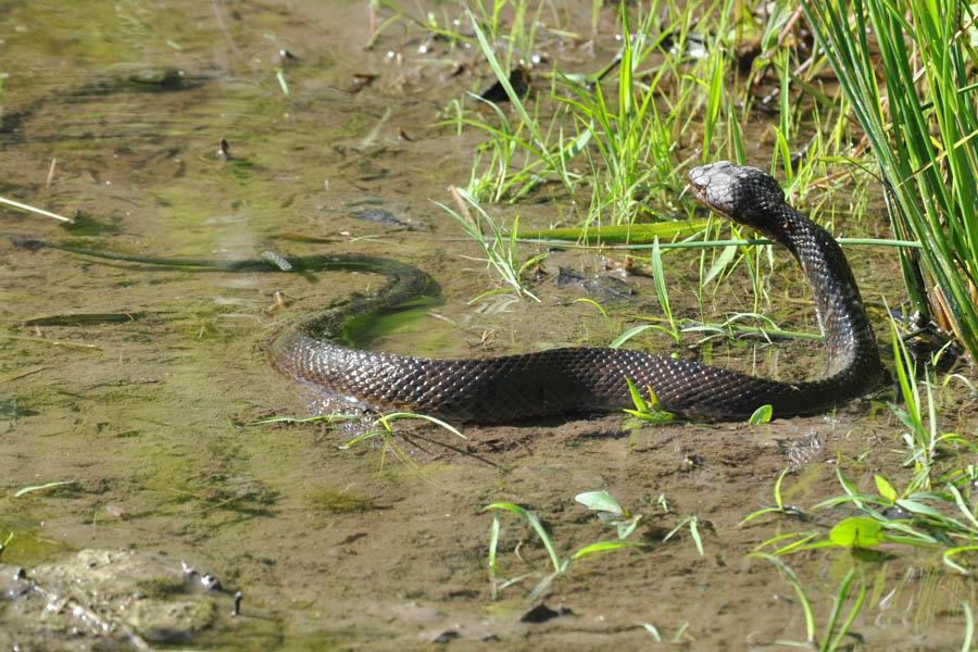 Cottonmouth Huge Snake Oklahoma
