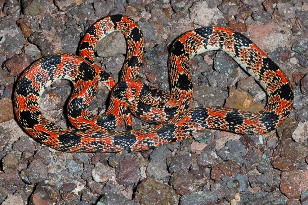 Longnose Snake Rhinocheilus Lecontei