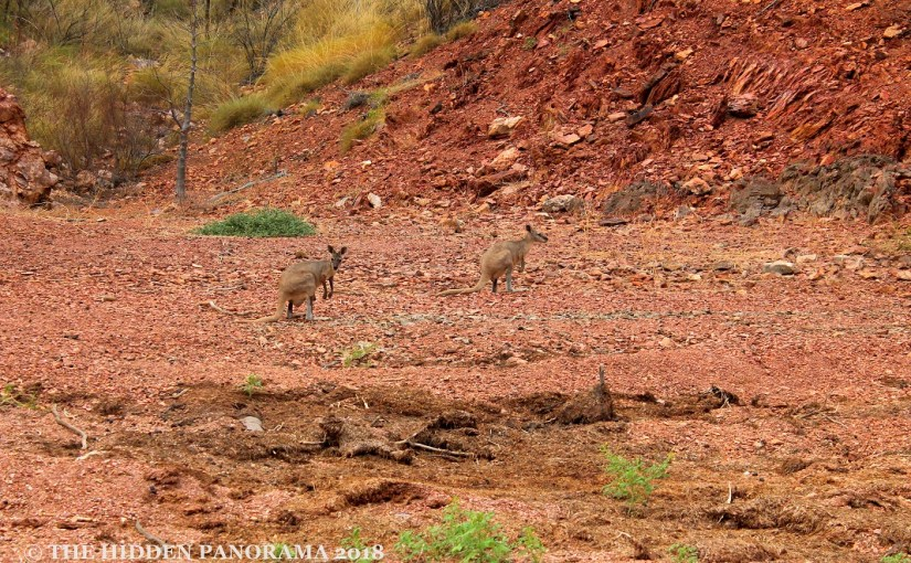 Life Of Others : Lake Argyle – Short Eared Rock Wallabies
