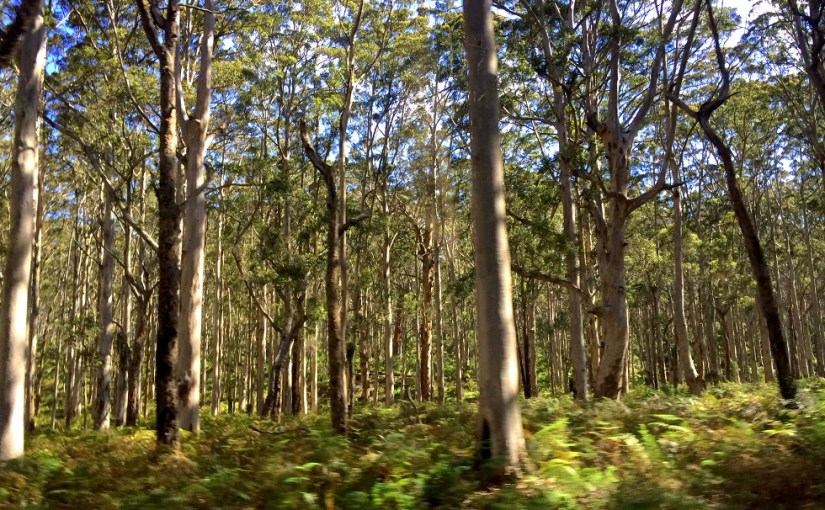 View At My Window : Boranup Forest
