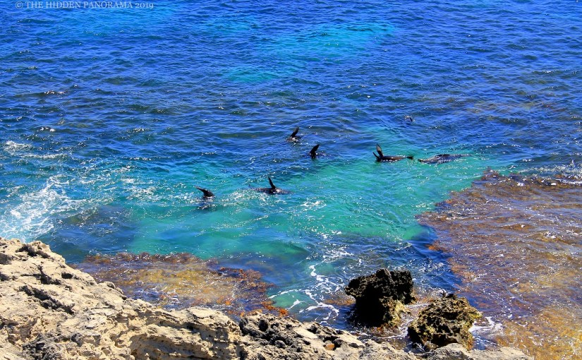 Life Of Others : Cathedral Rocks, Rottnest – New Zealand Fur Seals