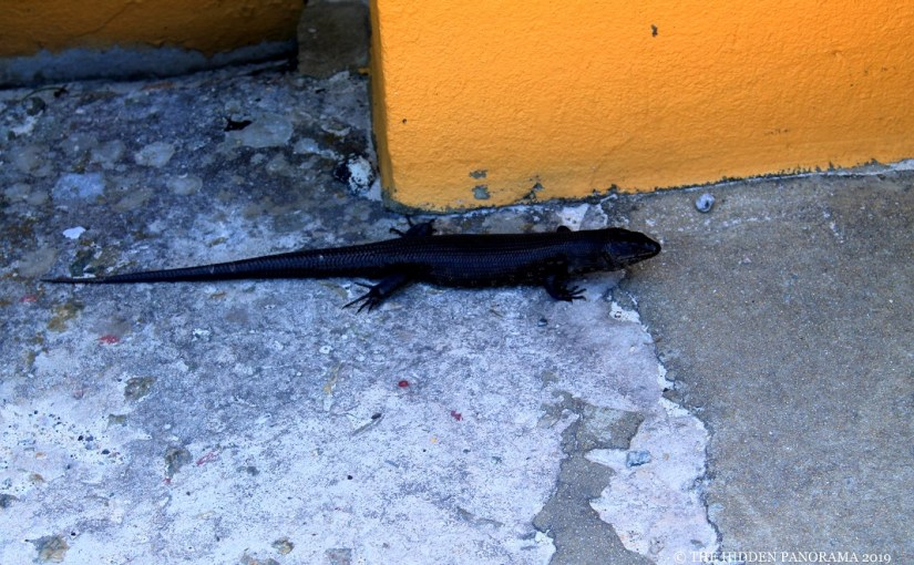 Life Of Others : Oliver Hill – King's Skink (Egernia Kingii)