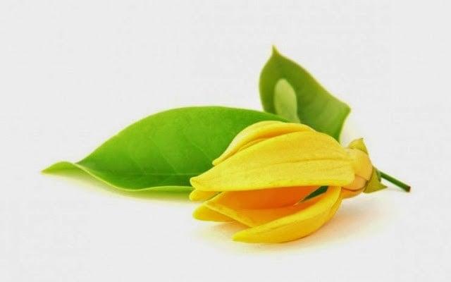 Manfaat Bunga Kenanga
