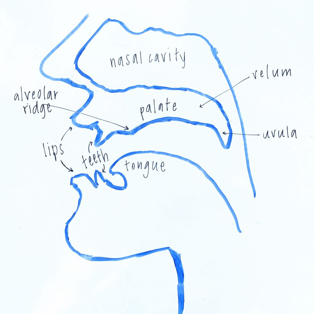 Side view diagram of the vocal tract.