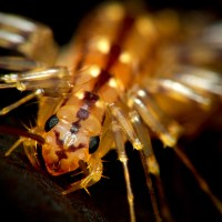 Domestic Ecology: A Brief Biohistory of the House Centipede