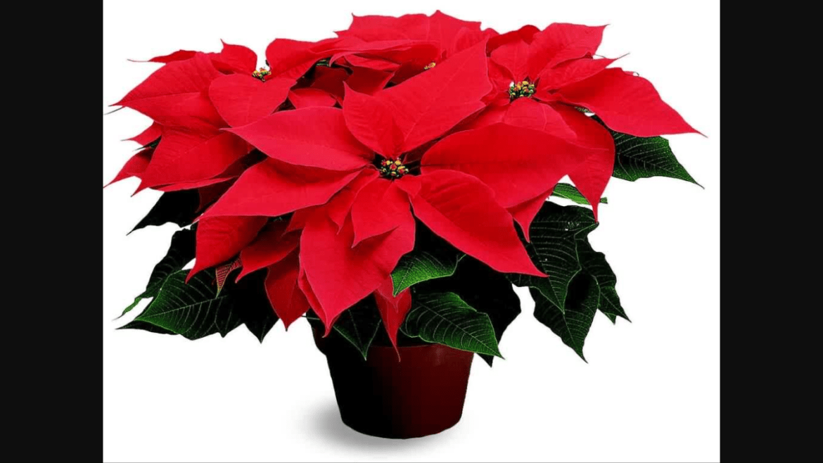 On point for the Poinsettia