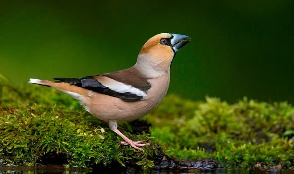Hawfinch stock picture
