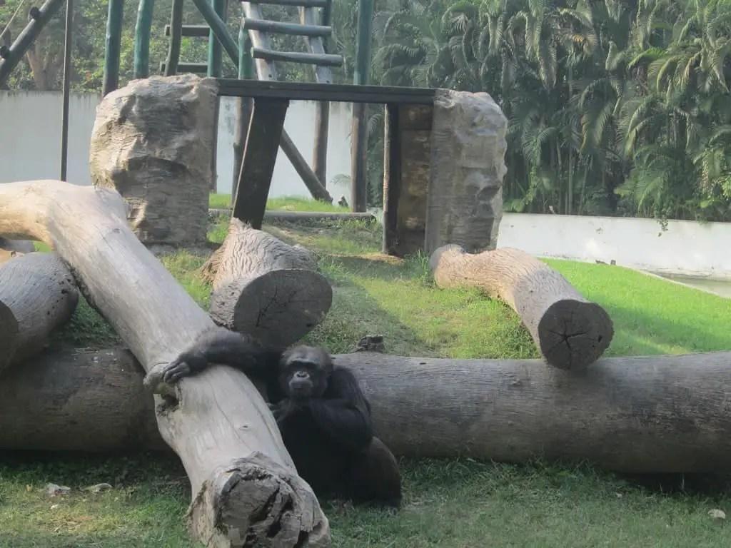 Alipore zoological garden Kolkata chimpanzee
