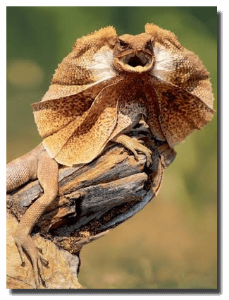 Frilled lizard (one of the one's unique to Australia)