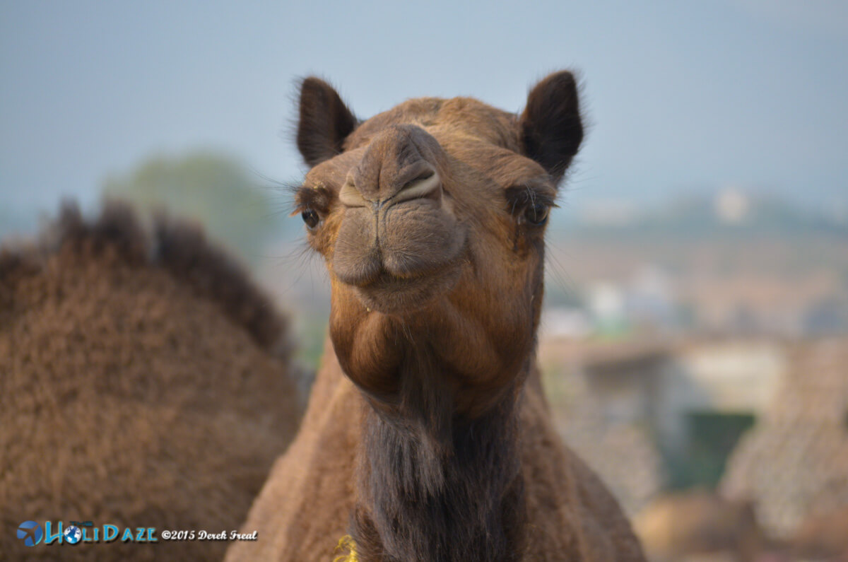 Camel close-up at the Pushkar Camel Fair 2015
